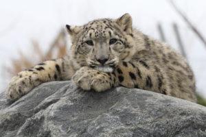 lumeleopard