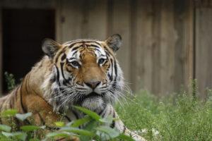 amuuri tiiger