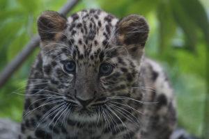 amuurileopard